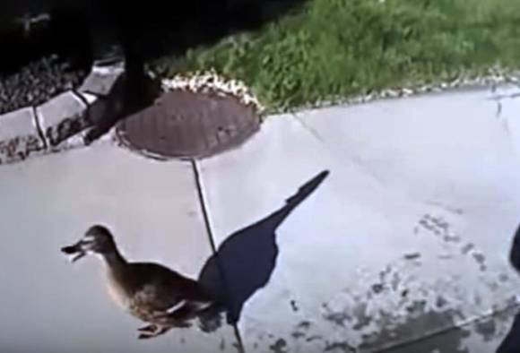 Caught on camera: Cop rescues ducklings from storm drain